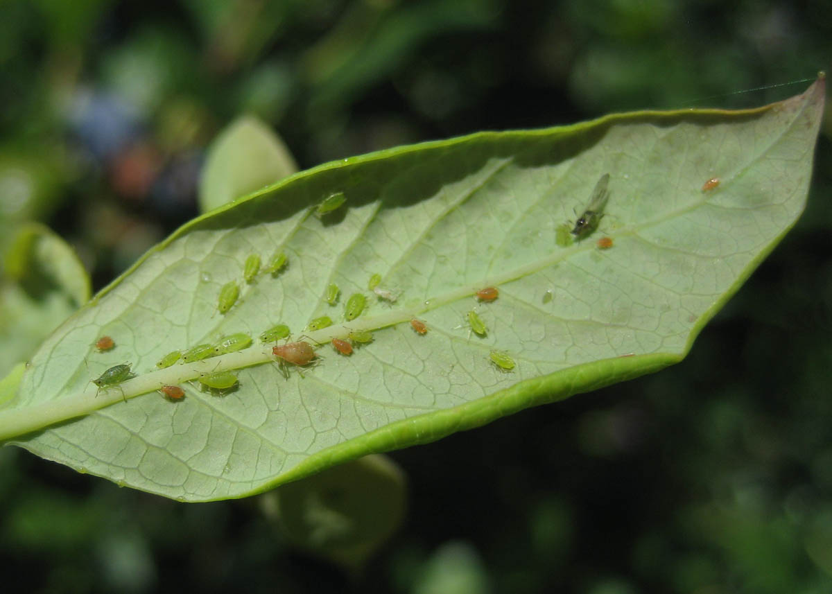 aphid-colony