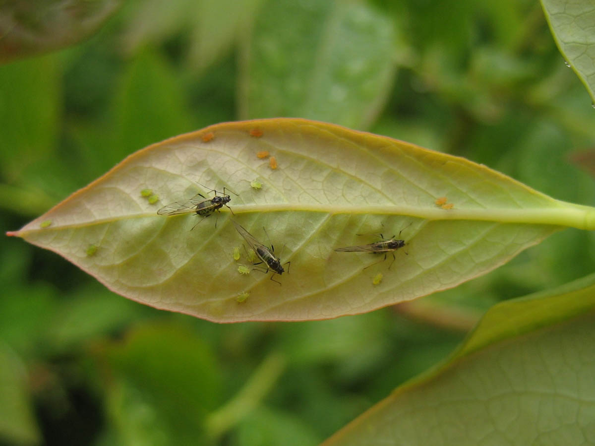 aphid-nymphs-and-winged-adults