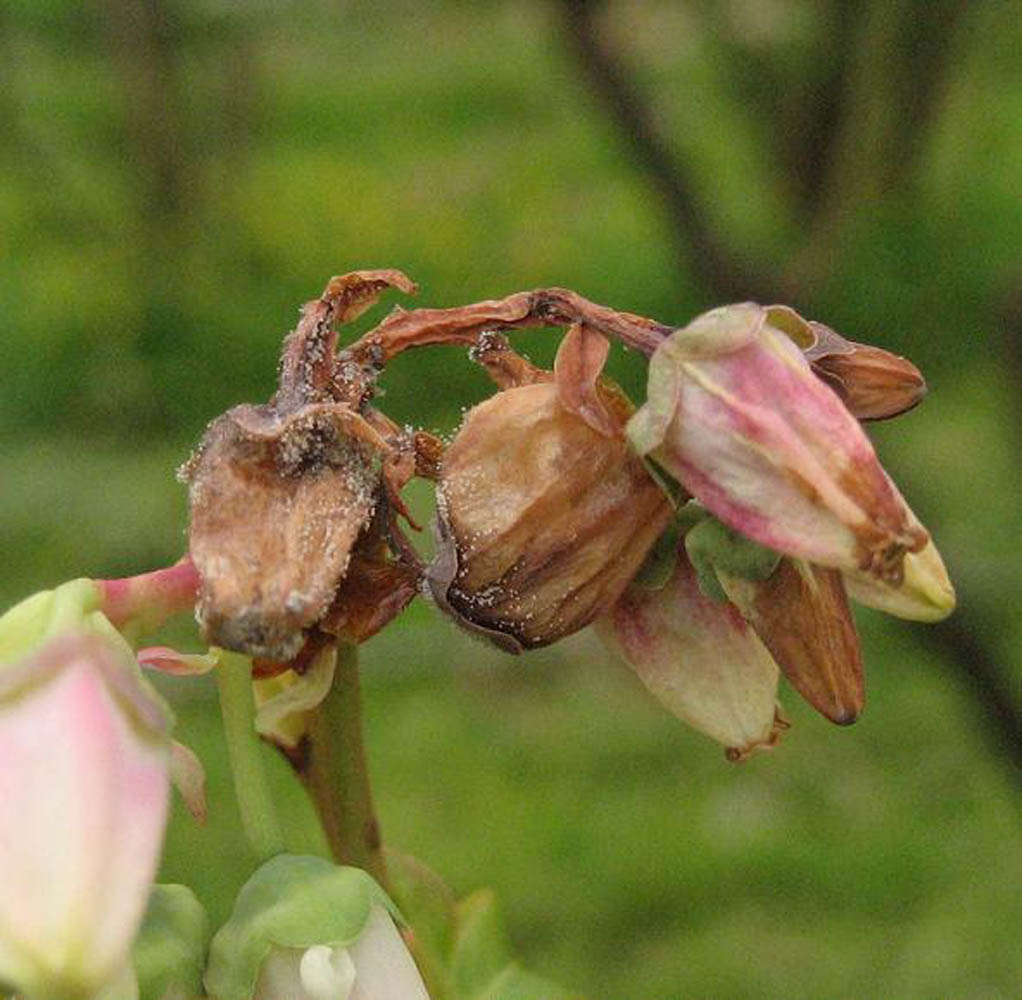 2-botrytis-blossom-rot
