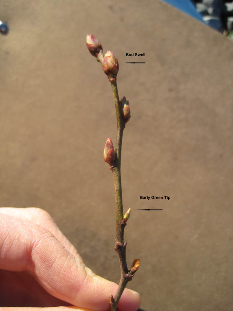 Crop Growth Stages – Blueberry Field Guide