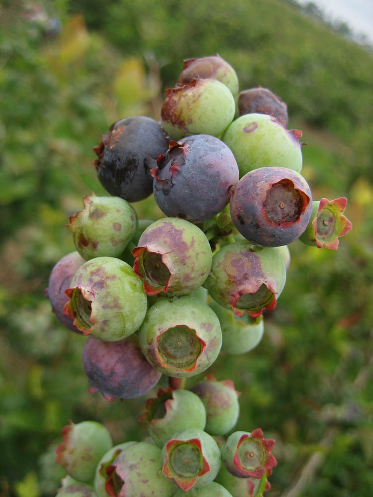 5-botrytis-fruit-rot
