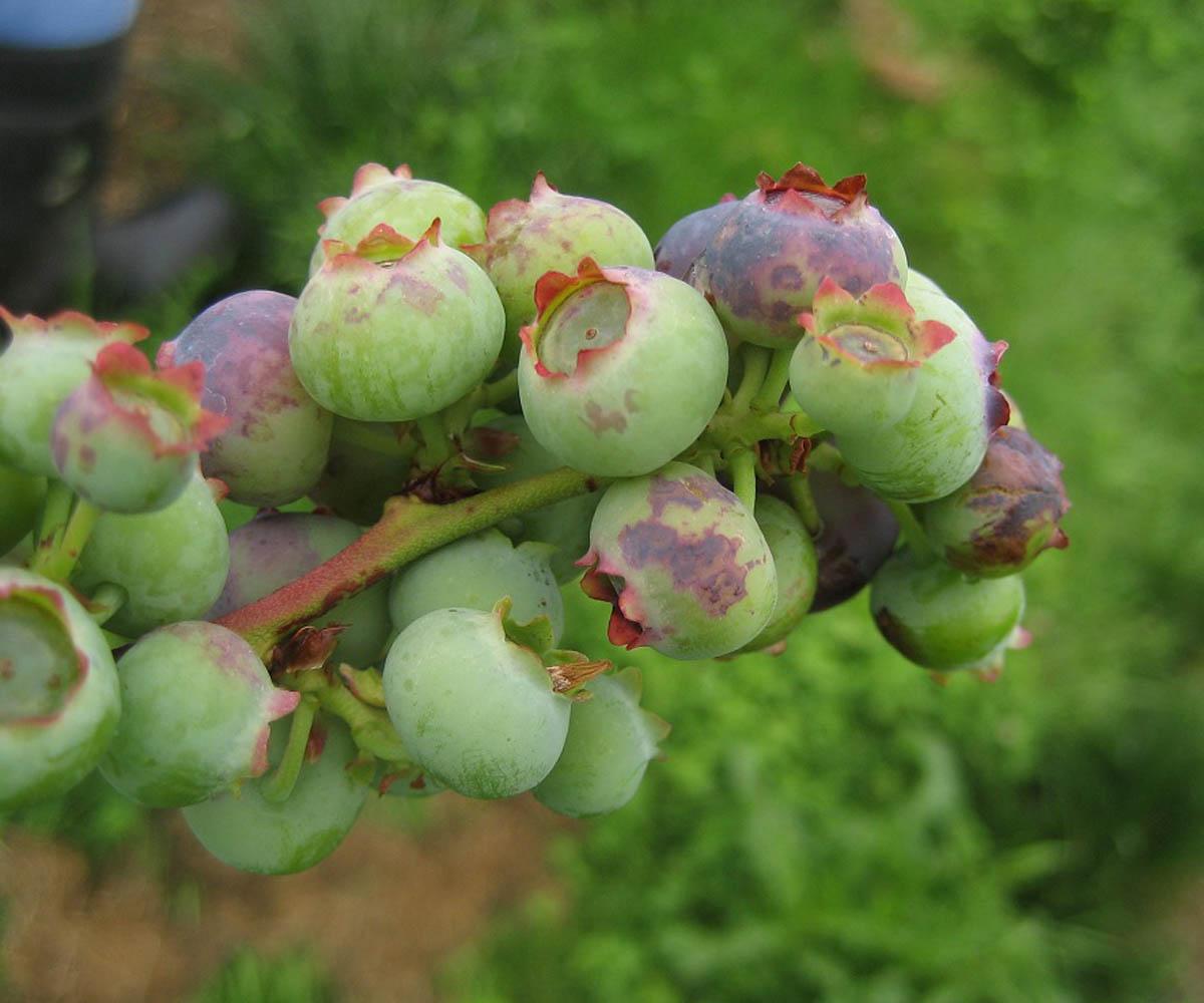 6-botrytis-fruit-rot