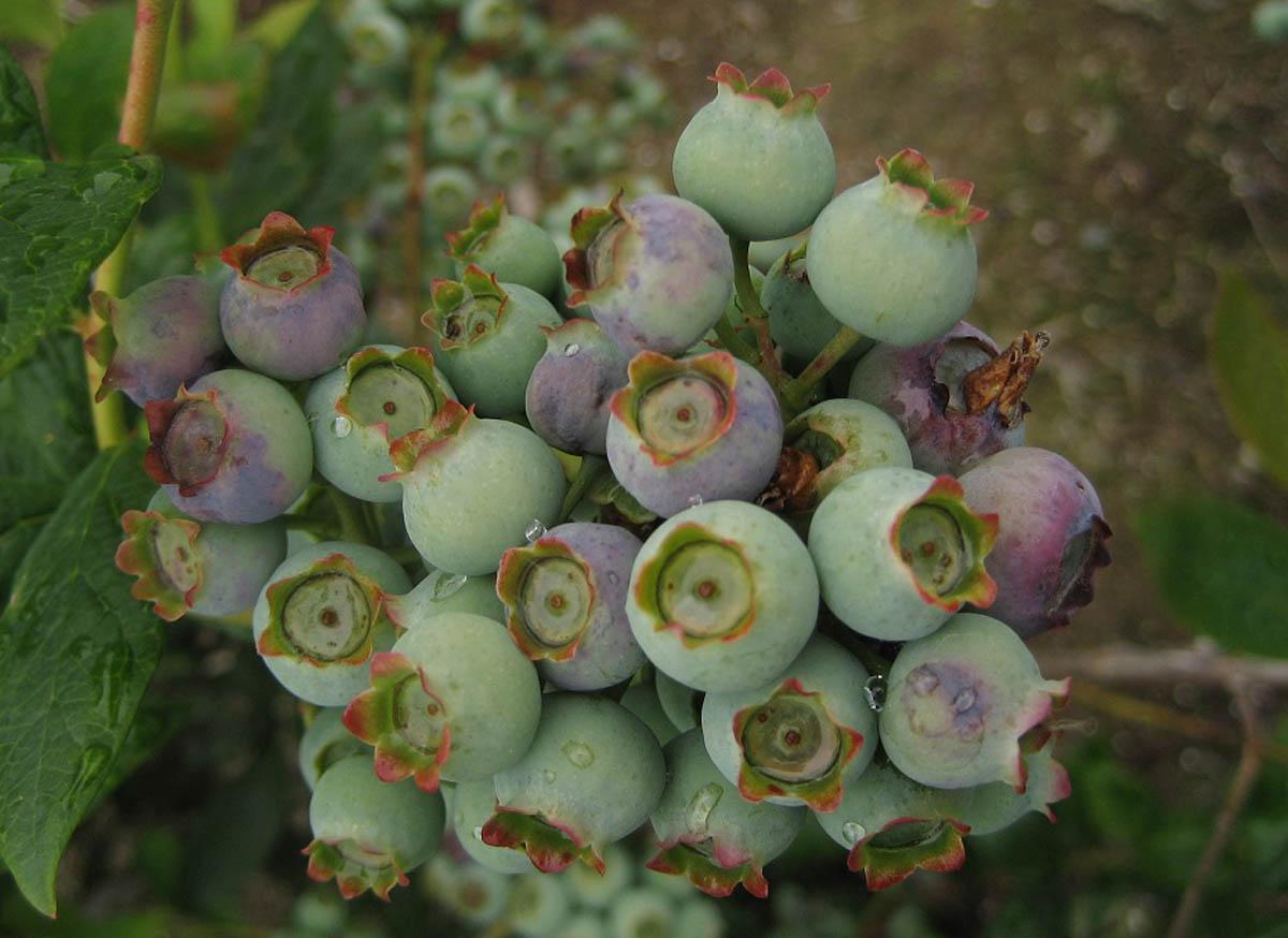 7-botrytis-fruit-rot