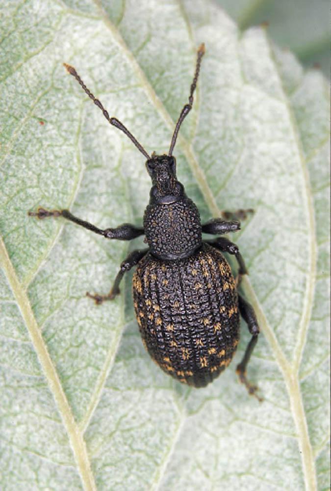 adult-black-vine-weevil