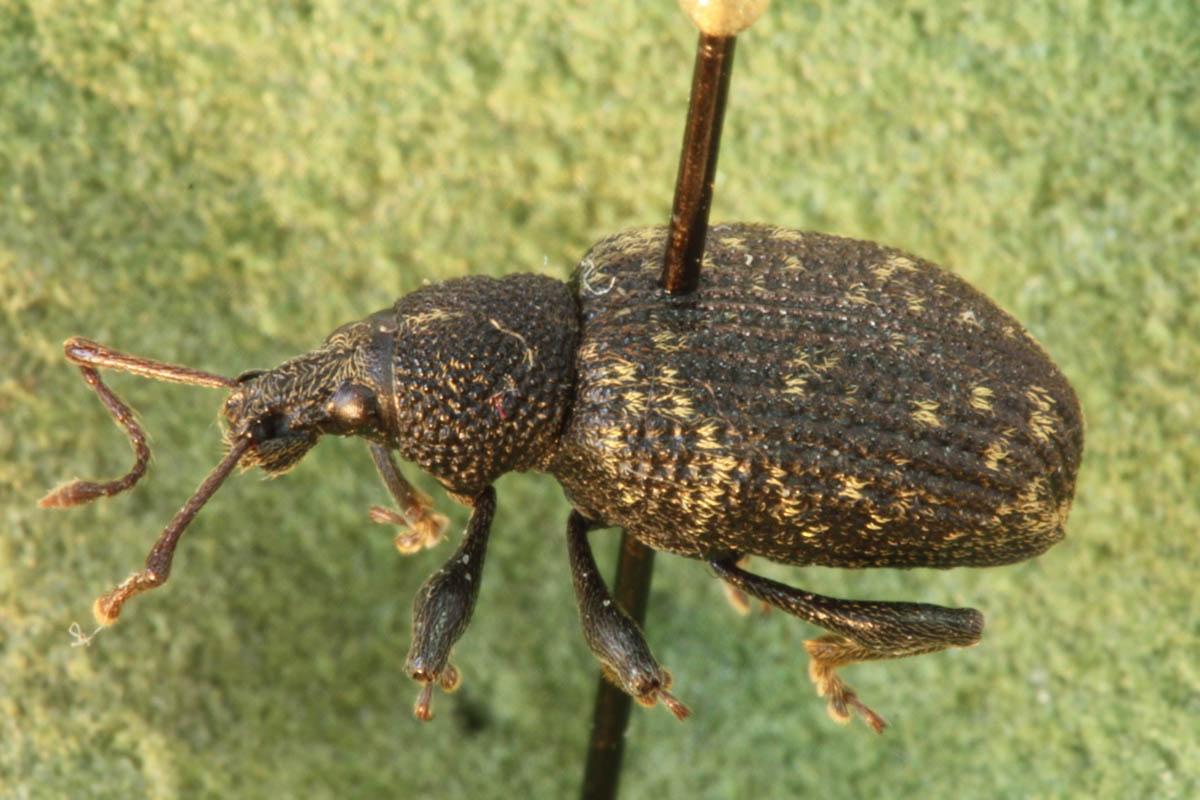 black-vine-weevil