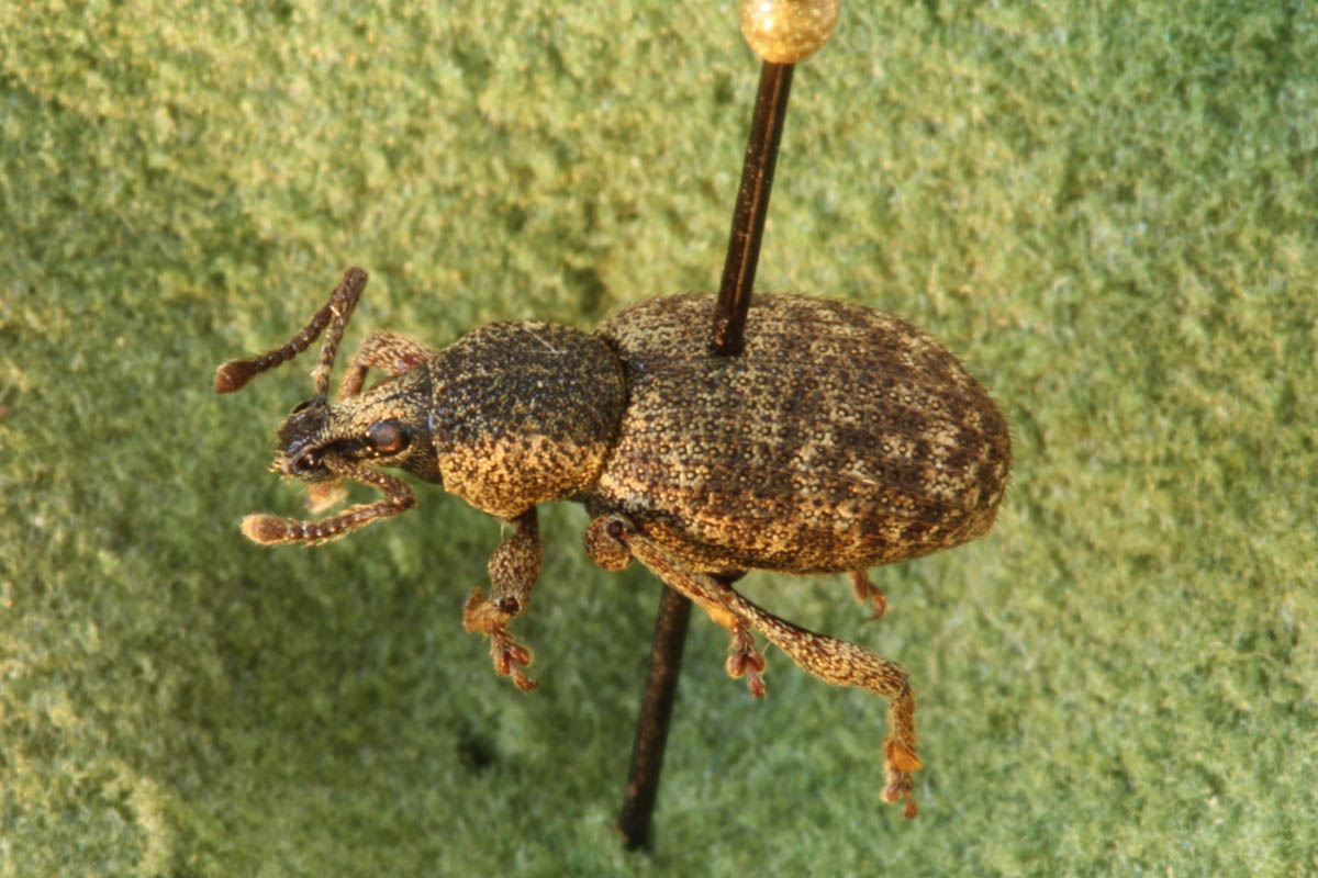 clay-coloured-weevil