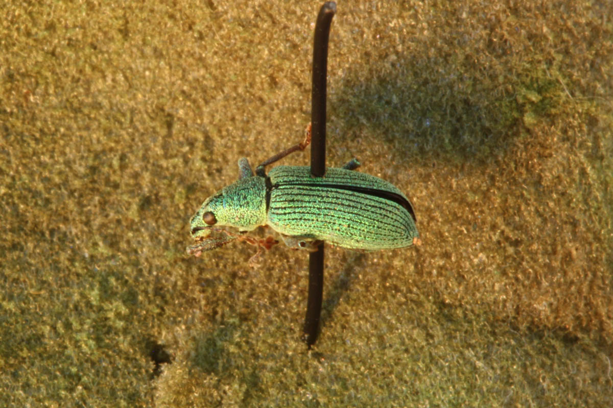 green-immigrant-leaf-weevil