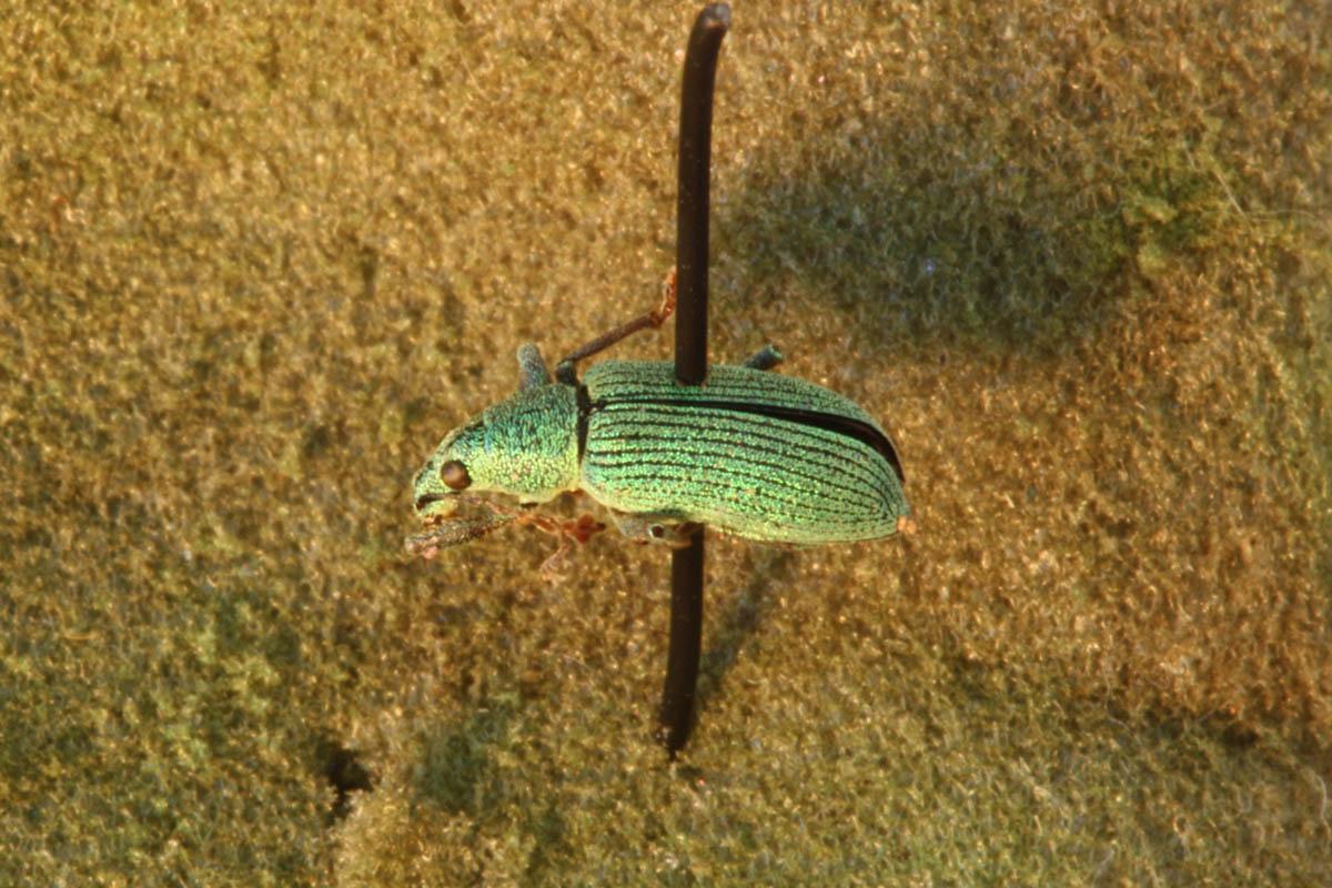 green-immigrant-leaf-weevil