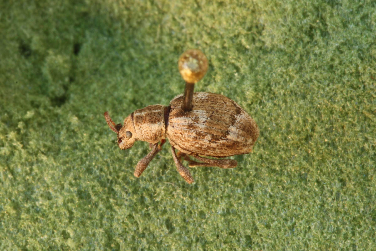 obscure-root-weevil