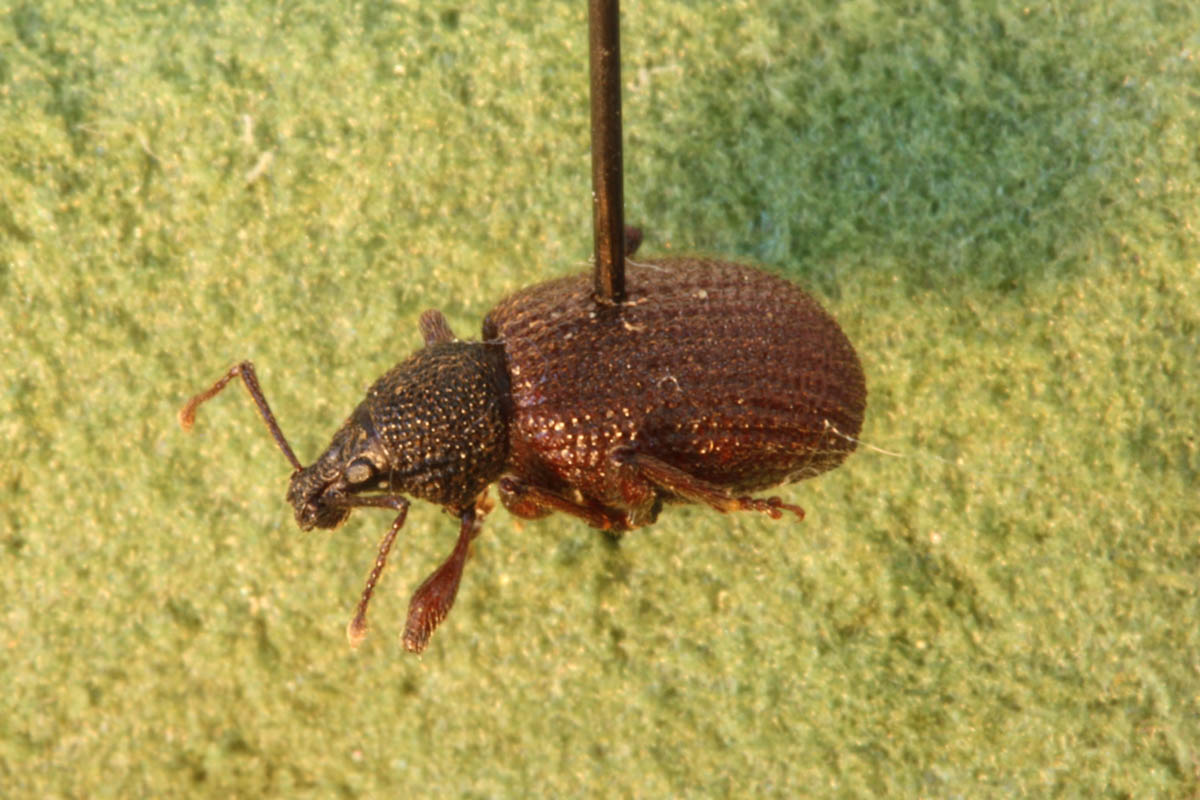 rough-strawberry-weevil