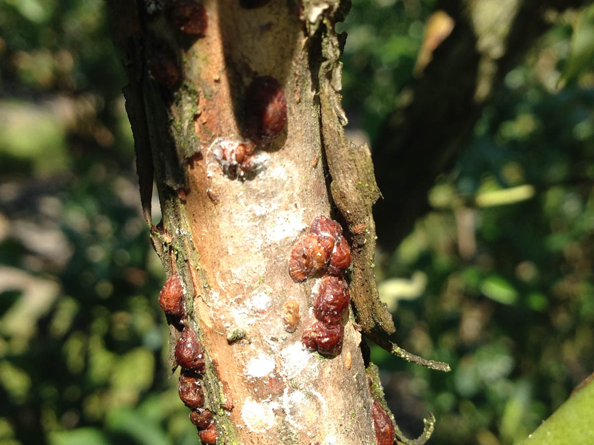 scale-insects-2