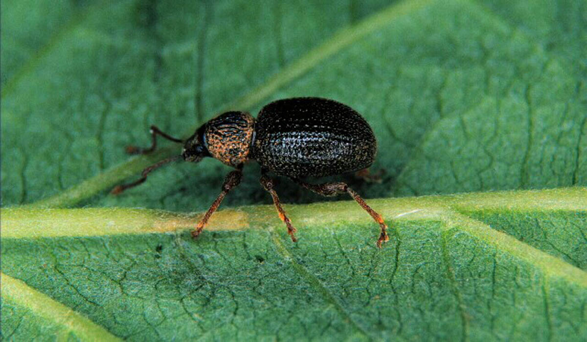 strawberry-root-weevil